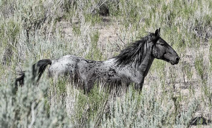 Little Book Cliff Wild Horses